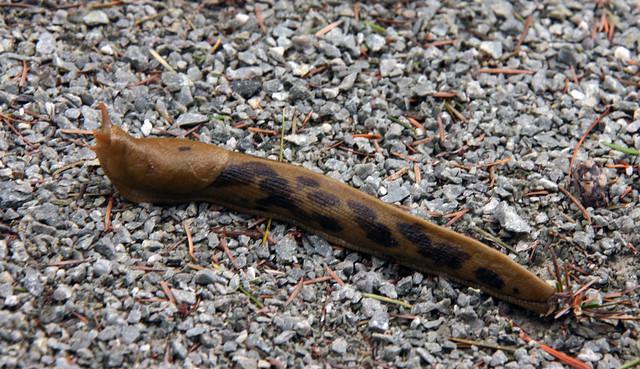 IMG_3578 banana slug