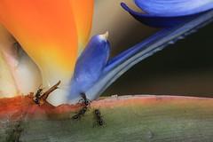 Ant attack (crafty1tutu (Ann)) Tags: flower macro ant birdofparadise sooc canon50d natureoftheworldunlimited canon180mm35lseriesmacro