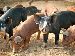 polyface pigs