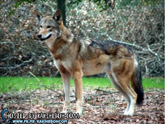 Red-Wolf