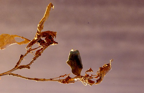 Leaves killed by the thread blight fungus. Photo courtesy of Alan R. Biggs, West Virginia University.
