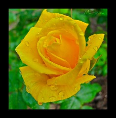 yellow rose 4 (marinka78) Tags: flower macro nature floral rose yellow canon flora flor blume cicek gerden mygearandme mygearandmepremium mygearandmebronze mygearandmesilver mygearandmegold mygearandmeplatinum
