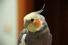 pappagallino calopsitta allevato a mano (clubdelcane2011) Tags: uccelli mano ara canarini pappagalli volatili inseparabili cenerino calopsitta calopsitte parrocchetti allevati caloppsitte