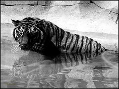 Tiger in water (philwirks) Tags: public tiger picnik myfavs prismatic philrichards show08 flickrinfullcolor unlimitedphotos