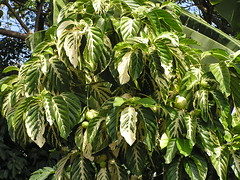 Potteri 2 (Scot Nelson) Tags: hawaii variegated noni variation potteri morinda citrifolia