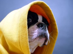 "May 03 2011 [Day 183] ""Star"" (James_Seattle) Tags: blackandwhite dog dan boston bostonterrier star starwars sony may cybershot jedi 365 year1 erasure dscf717 jedimaster 2011 sonycybershotdscf717 jamesseattle 31daysoferasuresongtitles"