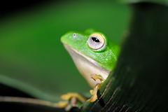 DSC_7229_s (jolod307) Tags: macro nikon taiwan frog micro frogs biodiversity 105mm 樹蛙 105mmvr 105mmmicro 莫氏樹蛙 d700 nikond700 莫氏