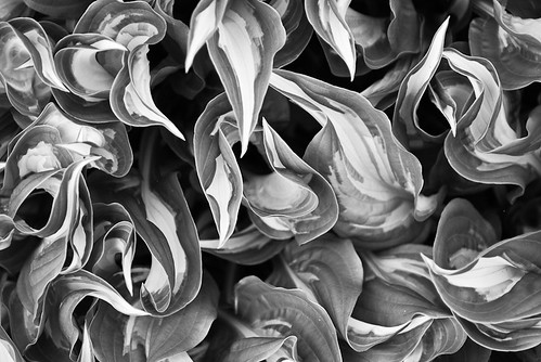 variegated hosta leaves
