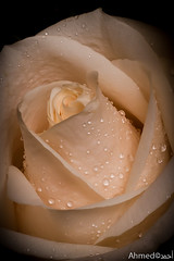 Lonely Rose  (Ahmed ) Tags: flower love water rose canon drop fresh lonely ahmed qatar