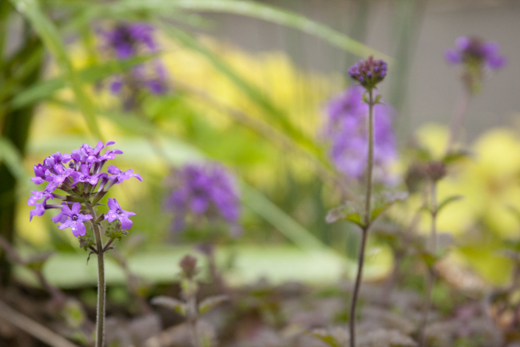 Verbena and Agastache