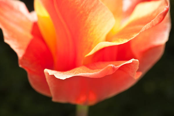 Candy Colored Tulip, Allen Centennial Garden at Madison Wisconsin
