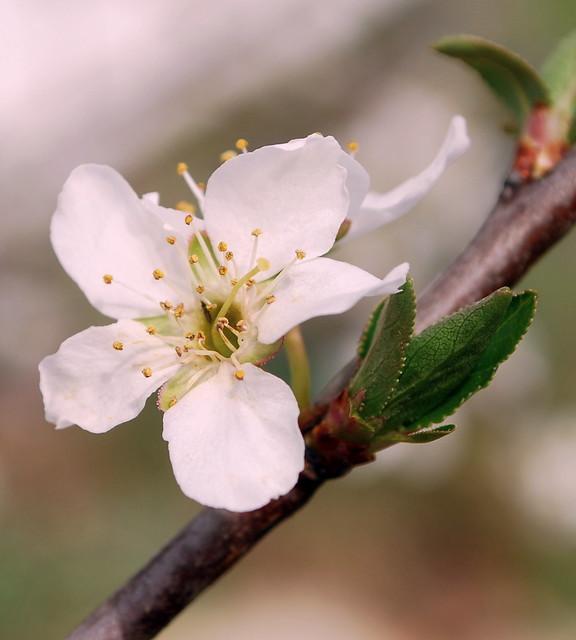 Plum blossom pint tint