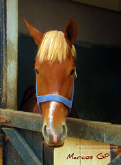 Joven equino (Marcos GP) Tags: horse peru caballo lima peruvian greatshots topshots photosandcalendar natureselegantshots panoramafotogrfico panoramafotografico purix marcosgp theoriginalgoldseal flickrportal