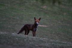 Fox (Jonas Van de Voorde) Tags: brussels belgium belgique belgi bruxelles brussel vos redfox vulpesvulpes renardroux