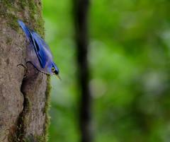 Sulphur-billed Nuthatch (Sitta oenochlamys) (Bram Demeulemeester - Birdguiding Philippines) Tags: philippines visayas panay bramdemeulemeester sulphurbillednuthatch birdguidingphilippines philippinesbirdingtours