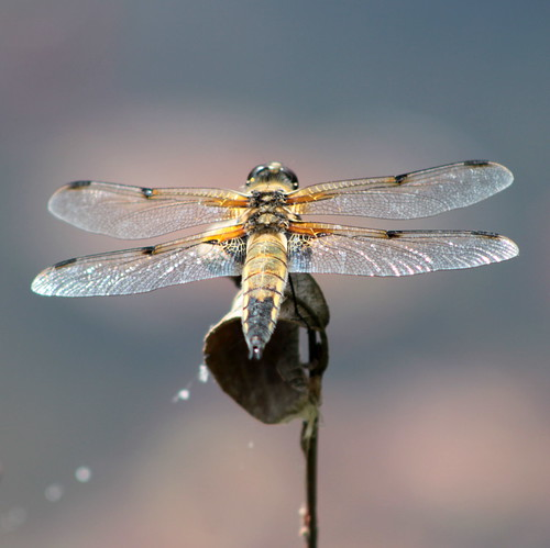Four-spotted Chaser Dragon Fly ( Libellula quadrimaculata )
