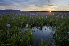 Dawn Breaks on the Camas Prairie (Dylan MacMaster) Tags: sunrise lily idaho lilies prairie camas centennialmarshwildlifemanagementarea