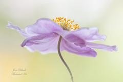 Japanese anemone (Jane Dibnah Botanical Art) Tags: japaneseanemone pink floralart gardenphotography nature