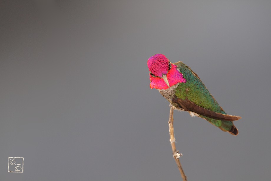 Anna's Hummingbird 032011-2