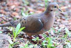 Mourning dove (Evangelio Gonzalez MD) Tags: ga temple canoneos7d sigma150500apo