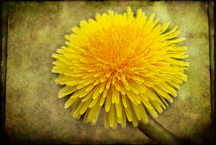 Dandelion - a textured beauty - Explore (Carl Scott) Tags: yellow golden dandelion textures taraxacum taraxacumofficinale officinale bej skeletalmess bestofblinkwinners