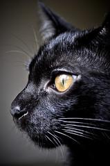 Jack Black - close (Magon_photo) Tags: black cat jack feline preto gato catseye cateye bestofcats boc0411