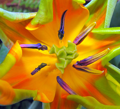 The Colorful Life of a Tulip (Sandra Leidholdt) Tags: flowers usa flores nature floral colors gardens america cores botanical us colorado colorful unitedstates tulips couleurs blossoms denver explore american tulip tulipas blossoming tulpen tulpe tulipaner tulipes amricain denverbotanicalgardens tulipn tulipanes tulipany denverbotanicgarden explored laleler  sandraleidholdt tulpenmeer  leidholdt sandyleidholdt
