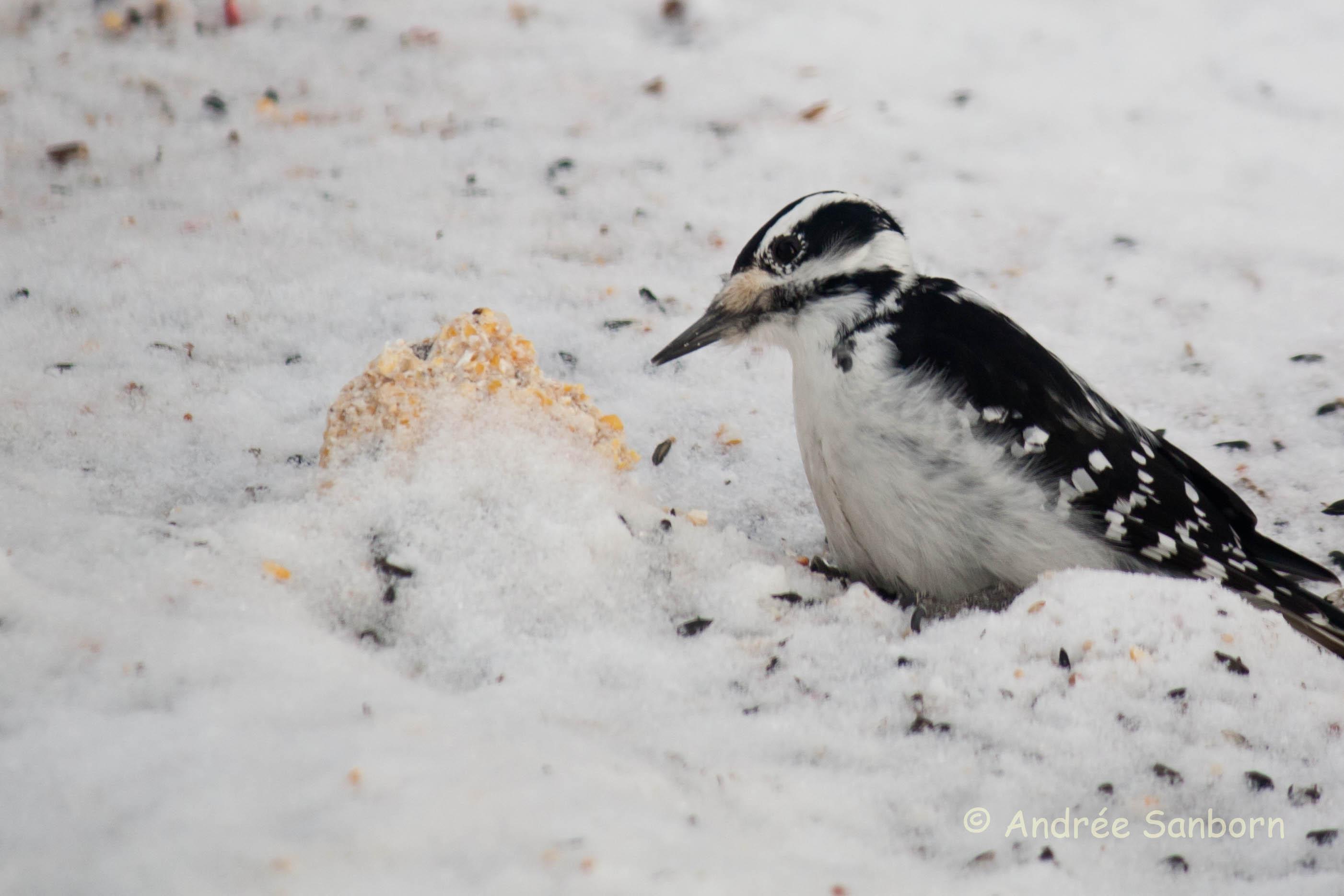 Woodpecker (4 of 8).jpg