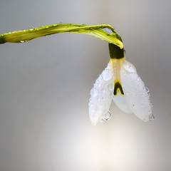 Snowdrop (Arnfinn Lie, Norway) Tags: flower macro nature norway stavanger snowdrop rogaland tamron90mm snklokke sonyalpha350 arnfinnlie