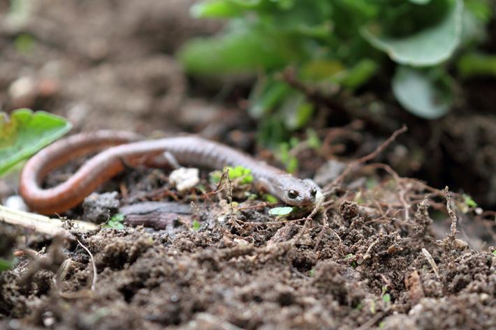 040311_salamander03