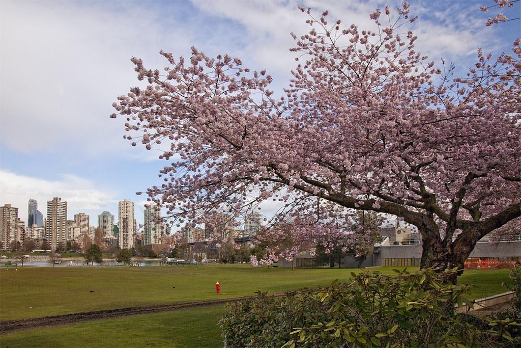 Sakura @ Vanier Park