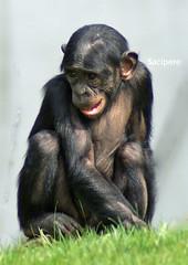 grin ? (sacipere) Tags: animal chimp shy chimpanzee mechelen bonobo babyanimal plankendael chimpanse