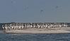 White Pelicans Pelecanus erythrorhynchos  Gulf of Mexico Cedar Key, Levy, Florida 3/25/11 5...