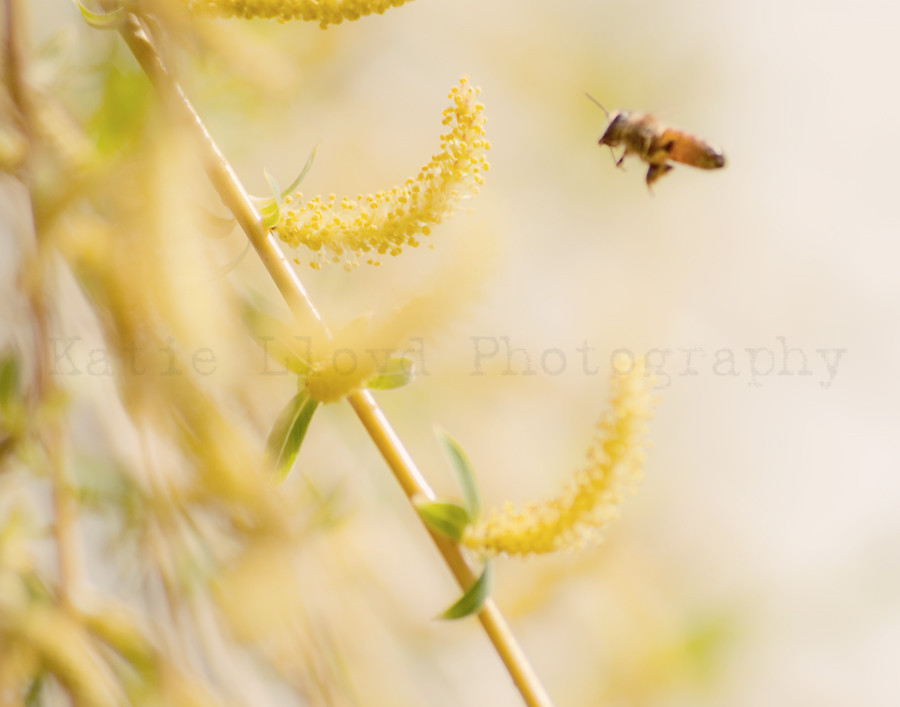 Bee and the Weeping Willow