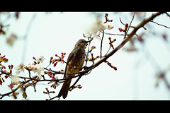 Kacho-fugetsu (moaan) Tags: flower bird digital spring dof bokeh utata april cherryblossom sakura breeze lunar cherrytree bulbul 2011 canoneos1ds brownearedbulbul  canonef180mmf35lusmmacro gettyimagesjapanq2