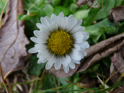 Common Daisy (Bellis perennis) by Peter Orchard