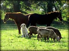 Le chien, les chevaux et les moutons... (bleumarie (peu prsente cause maladie)) Tags: chien animal cheval arbres prairie animaux moutons verdure chevaux berger gar