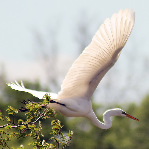 Weiss Lake Great Egret 3
