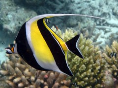 Maldives Underwater: Moorish Idol (one of the Nemo's friends) (presbi) Tags: snorkeling maldives tropicalfish maldive moorishidol thudufushi pescitropicali idolomoresco mygearandme mygearandmepremium mygearandmebronze dblringexcellence tplringexcellence artistoftheyearlevel4 eltringexcellence allofnatureswildlifelevel1 allofnatureswildlifelevel2 rememberthatmomentlevel4 rememberthatmomentlevel1 rememberthatmomentlevel2 rememberthatmomentlevel3 rememberthatmomentlevel7 rememberthatmomentlevel9 rememberthatmomentlevel5 rememberthatmomentlevel6 rememberthatmomentlevel8 rememberthatmomentlevel10 vigilantphotographersunite vpu2 vpu3 vpu4 vpu5 vpu6 vpu7 vpu8 vpu9 vpu10