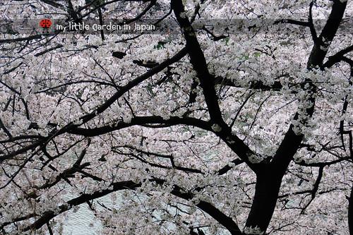 Sakura-in-Tokyo-2