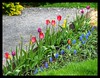 Colourful  Tulips (chromehorse) Tags: park pink flowers blue ireland red summer white plant flower macro green art nature floral grass animals rose yellow architecture garden grey spring pattern purple tulips daffodil tulip repetition horticulture flickraward holycreationsofnature allthebeautiesofnature