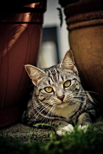 [フリー画像] 動物, 哺乳類, 猫・ネコ, 201104211100
