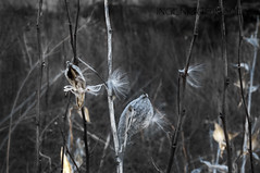 Soft Breezes (Ingenious Images) Tags: winter fall 50mm sticks weeds nikon fluffy seeds grasses pods d300 selectiveblackandwhite ingeniousimages