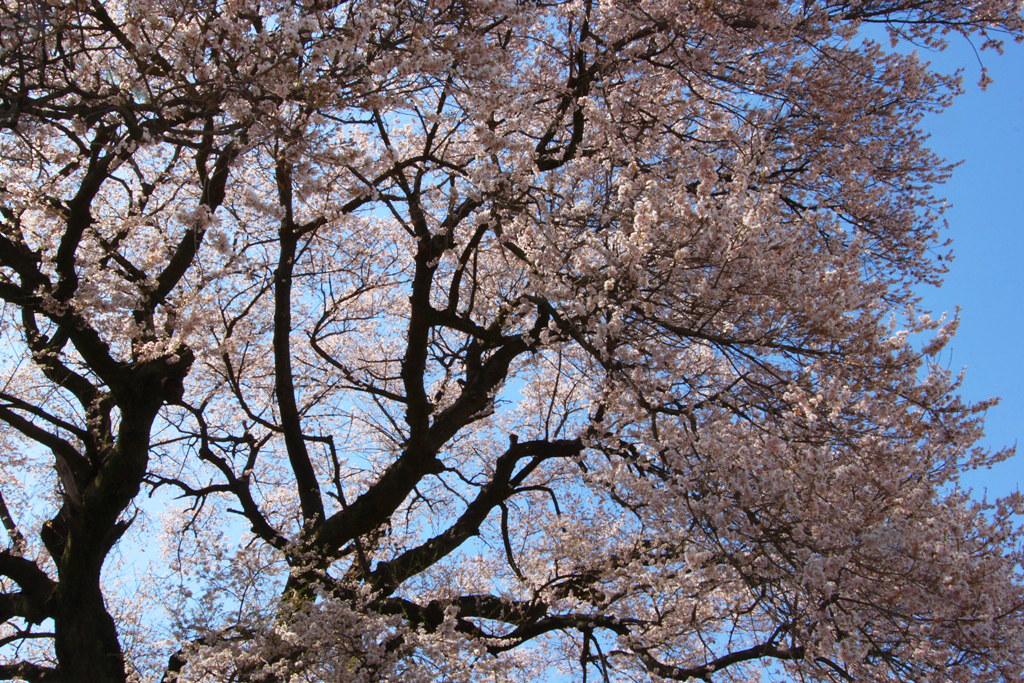 Sakura Photo 2011Wanizuka cherry blossom (10)