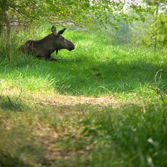 Relaxing Moose on a warm day under the shade tree (Bn) Tags: park wood trees shadow wild plants hot holland green nature netherlands forest geotagged spring topf50 warm europe day shadows head wildlife under relaxing tranquility sunny moose deer willow bark shade gras temperature elk dogwood eland flevoland finest lelystad artis hardwood wapiti cooloff closeencounter flevopark 50faves toohottotrot flevolandschap twigeater undertheshadeofthetrees greenpatchofgrass forestedbrowser zoom486mm geo:lon=5529307 geo:lat=52486651