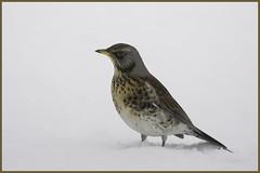 Fieldfare, RSPB Lochwinnoch reserve (Zul Bhatia1) Tags: uk winter snow bird scotland wildlife zul fieldfare bhatia lochwinnoch zulbhatiacopyright