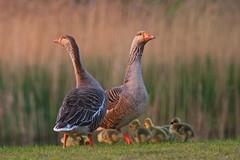 be alert! (Frans & all) Tags: geese ganzen kuikens nesselande ef100400mmf4556lisusm allfrans