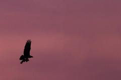 (StephsShoes) Tags: sunset fish bird dinner evening flying raptor catch trout osprey birdofprey canon70200f4l