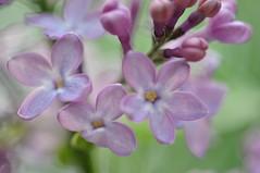 nneis (anuwintschalek) Tags: macro austria spring violet 85mm lila lilac april niedersterreich frhling lilla flieder glck kevad 2011 micronikkor sirel nikon90 vanagram helelilla sirelinn luckylilac