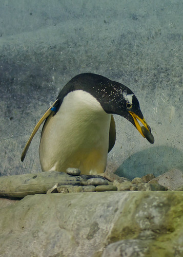 Penguin building a nest by Jerry-Bell